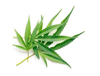 44200668-cannabis-leaves-on-white-backgr