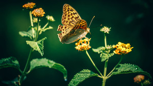 România are tot mai puțini fluturi