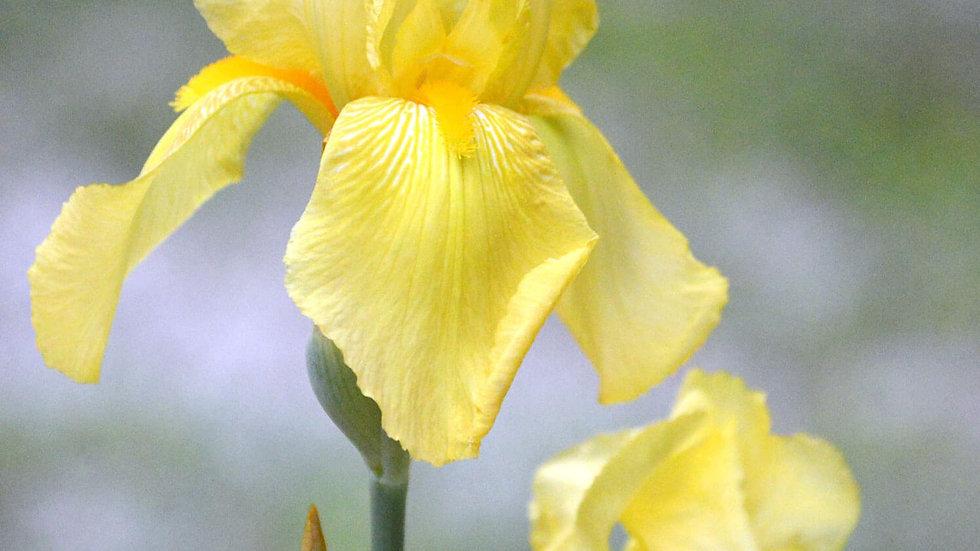 Bearded Iris (yellow)