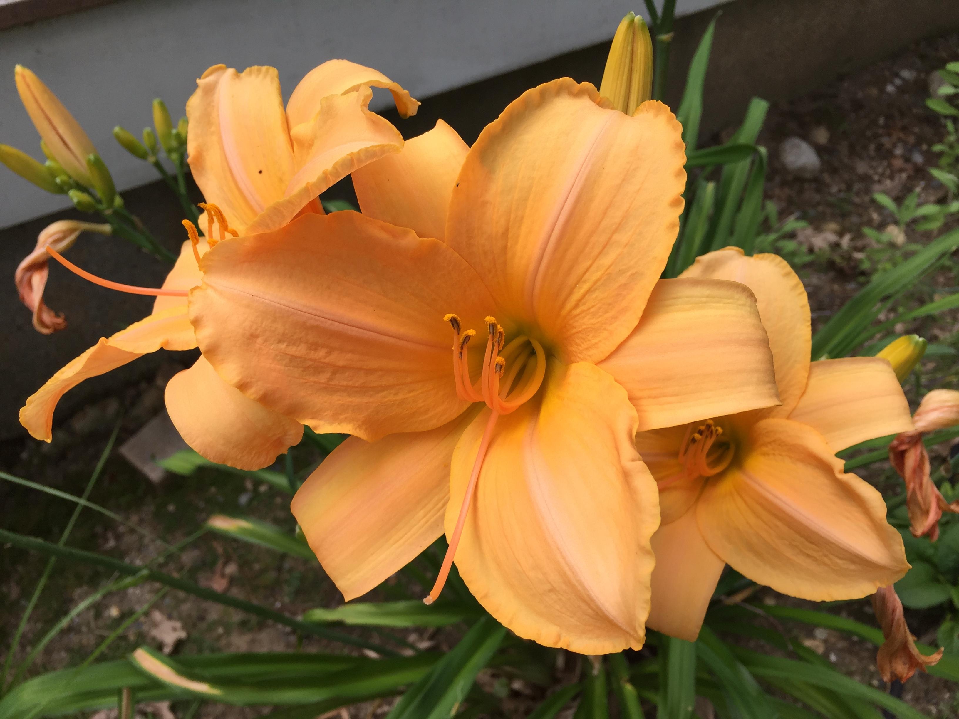 peach3 daylily