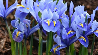 Dwarf Iris (blue)