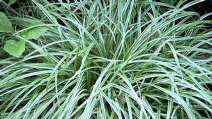 Grass (Japanese Sedge, Silver Scepter)