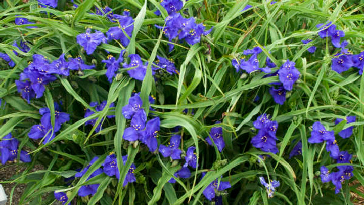 Spiderwort (Sweet Kate)