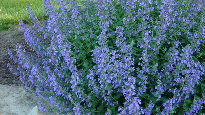 Catmint (Blue Wonder)