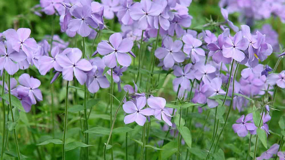 Phlox (Blue moon)