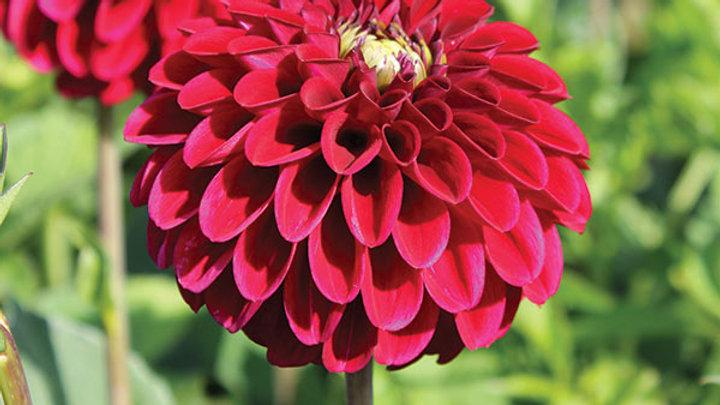 Dahlia (maroon)