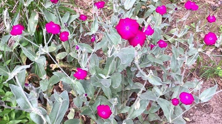 Rose Campion (Lychnis Coronaria)