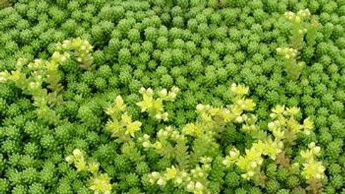 Sedum (Stonecrop, ground cover)