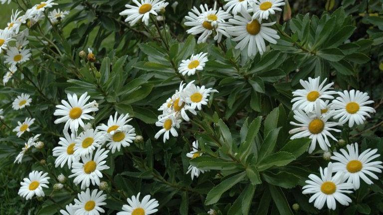 Montauk Daisy (Nipponanthemum nipponicum)