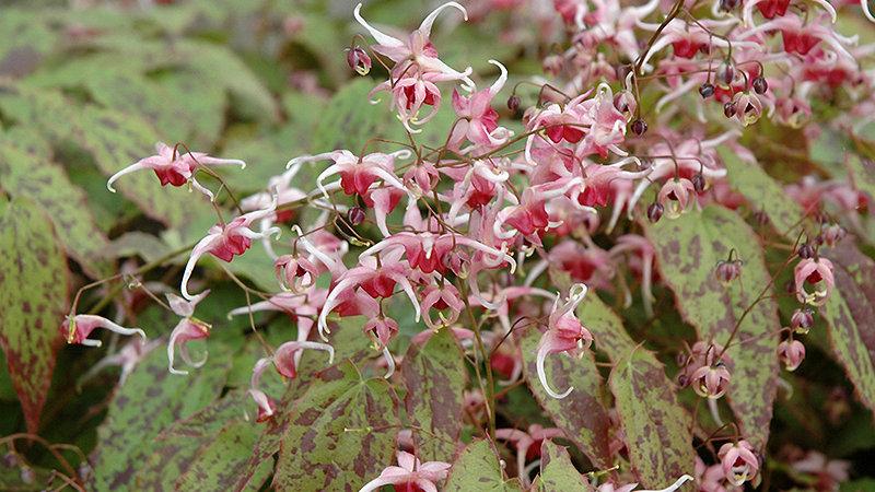 Barrenwort (Epimedium)