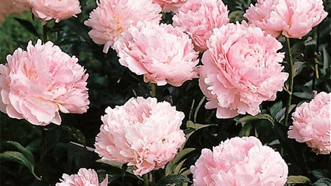 Peony (light pink)
