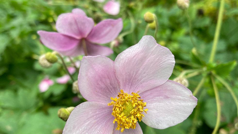 Anenome (pink)