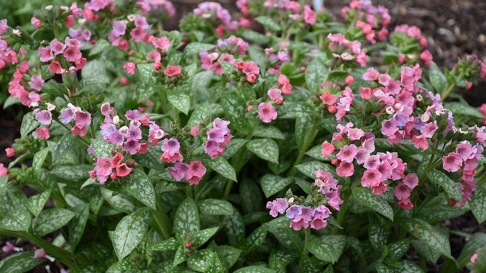 Lungwort (Pulmonaria, pink)