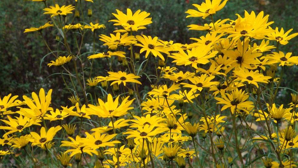 Swamp Sunflower (Helianthus Augustifolius)