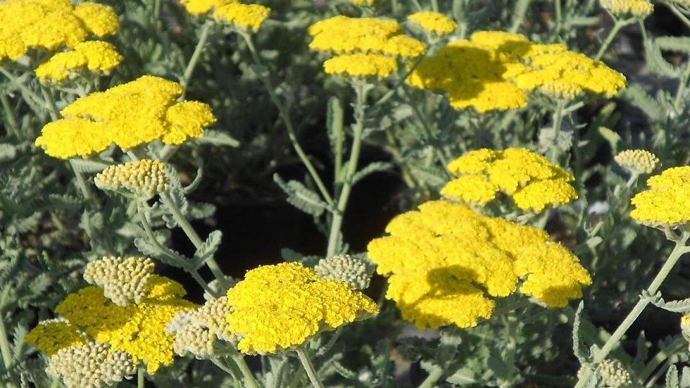 Yarrow (Achillea, yellow)