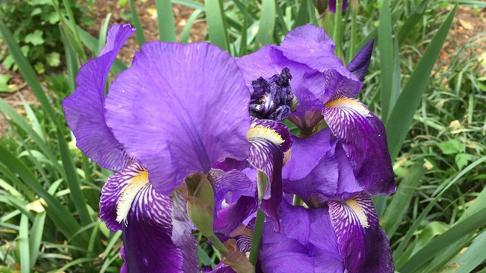 Bearded Iris (purple)