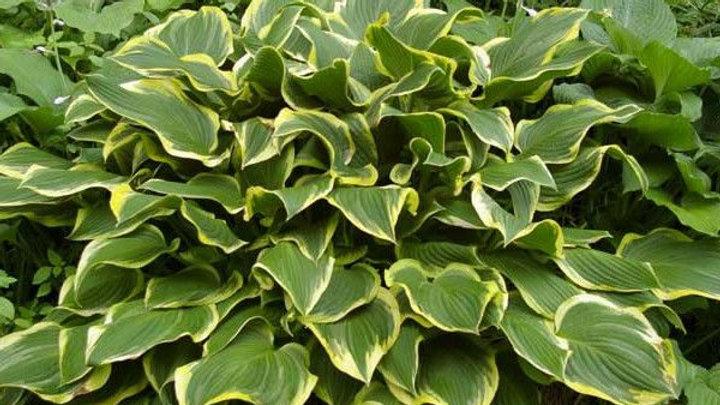 Hosta (variegated)