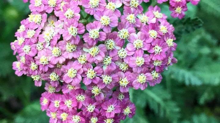 Yarrow (Achillea, pink)
