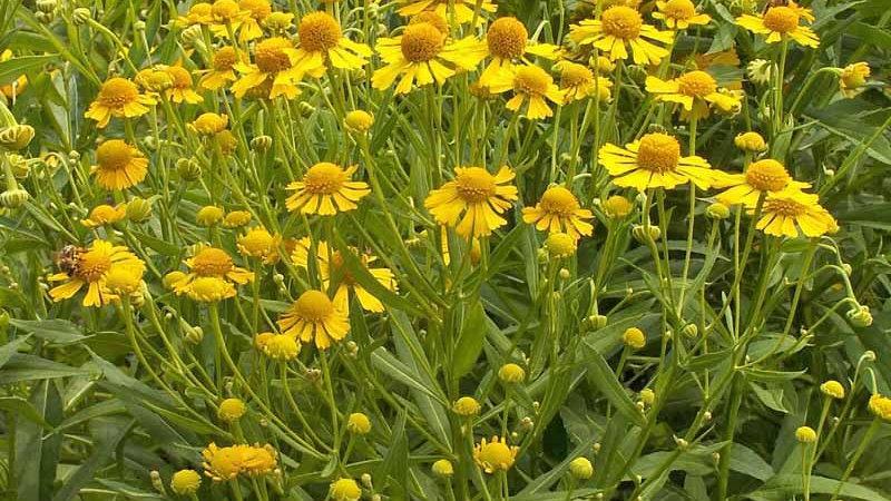 Sneeze weed (Helenium Autumnale)