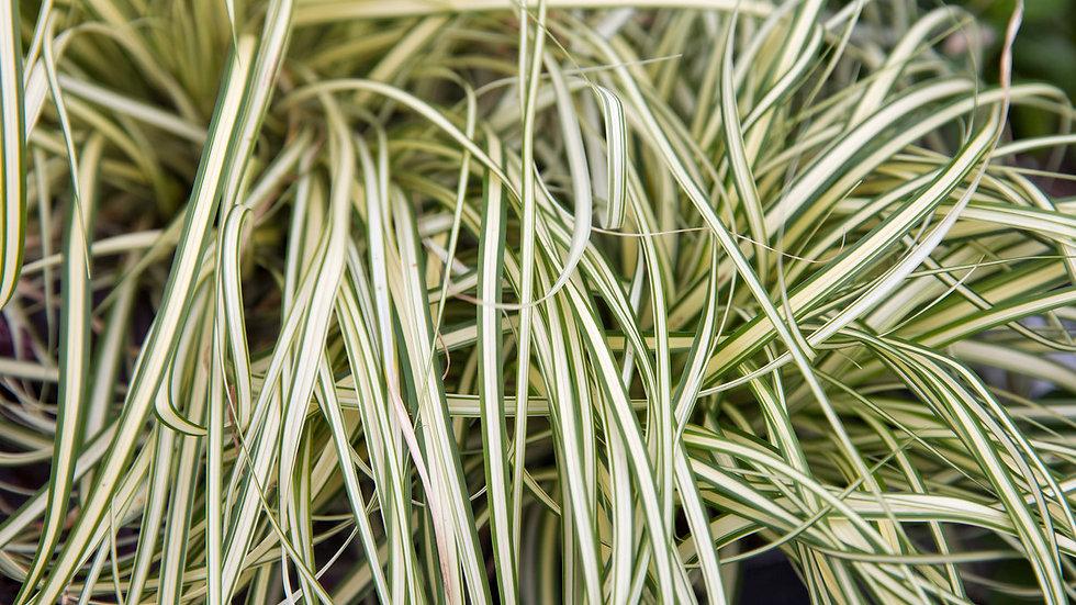 Grass (Ribbon)