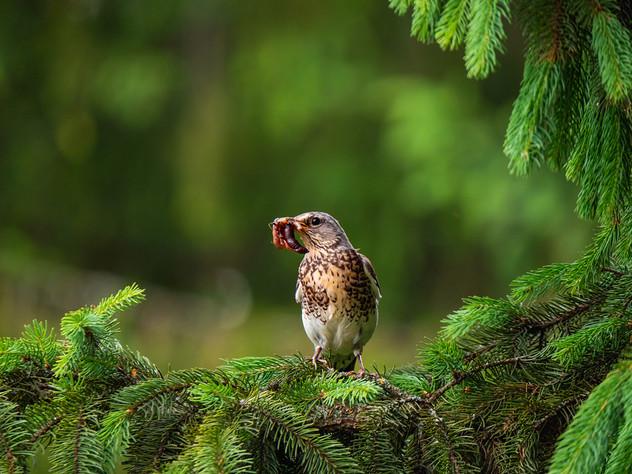 Певчий дрозд