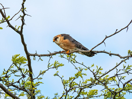 Кобчики - Red-footed falcon