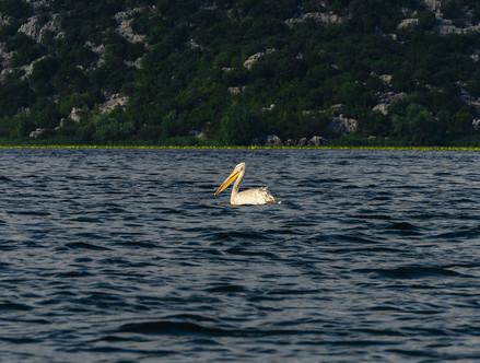 Пеликан на Скадарском озере