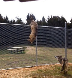 Leia jumping an 8-foot fence