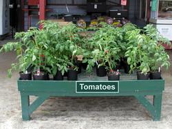 tomato-plants_800