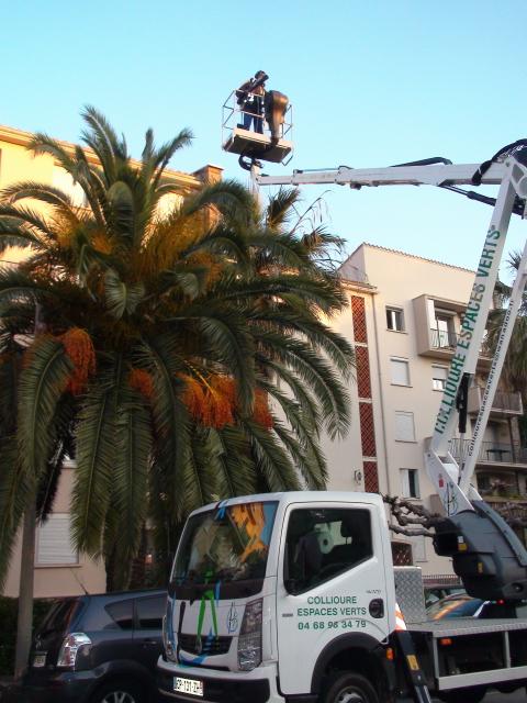 traitement des palmiers.