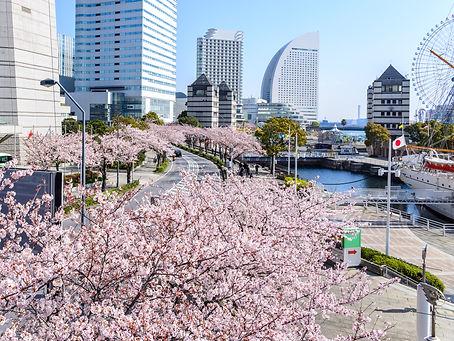 Sakura or cherry blossom view in yokoham