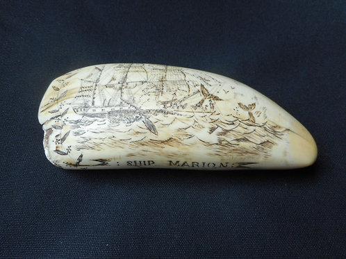 No.341 - Large tooth. Ship Marion