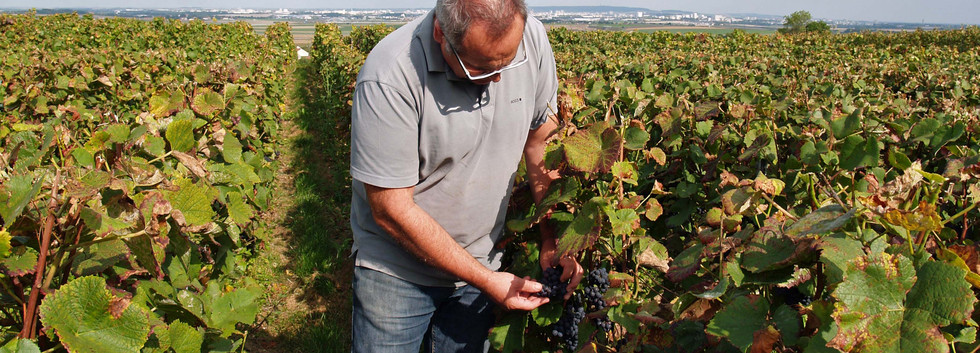 Harvest 2014 - Eric Coulon old vines Meunier, Vrigny