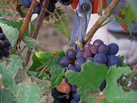 Harvest 2014 - Picking.jpg