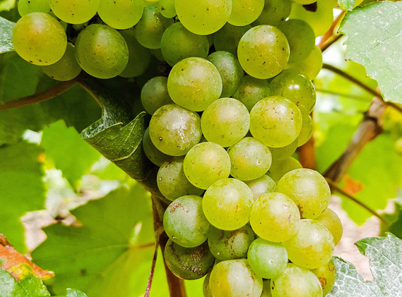 Chardonnay in Etienne Calsac's clos in Avize
