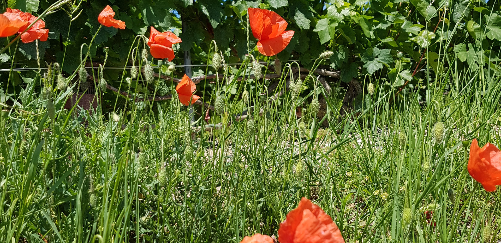 Vines in Vrigny
