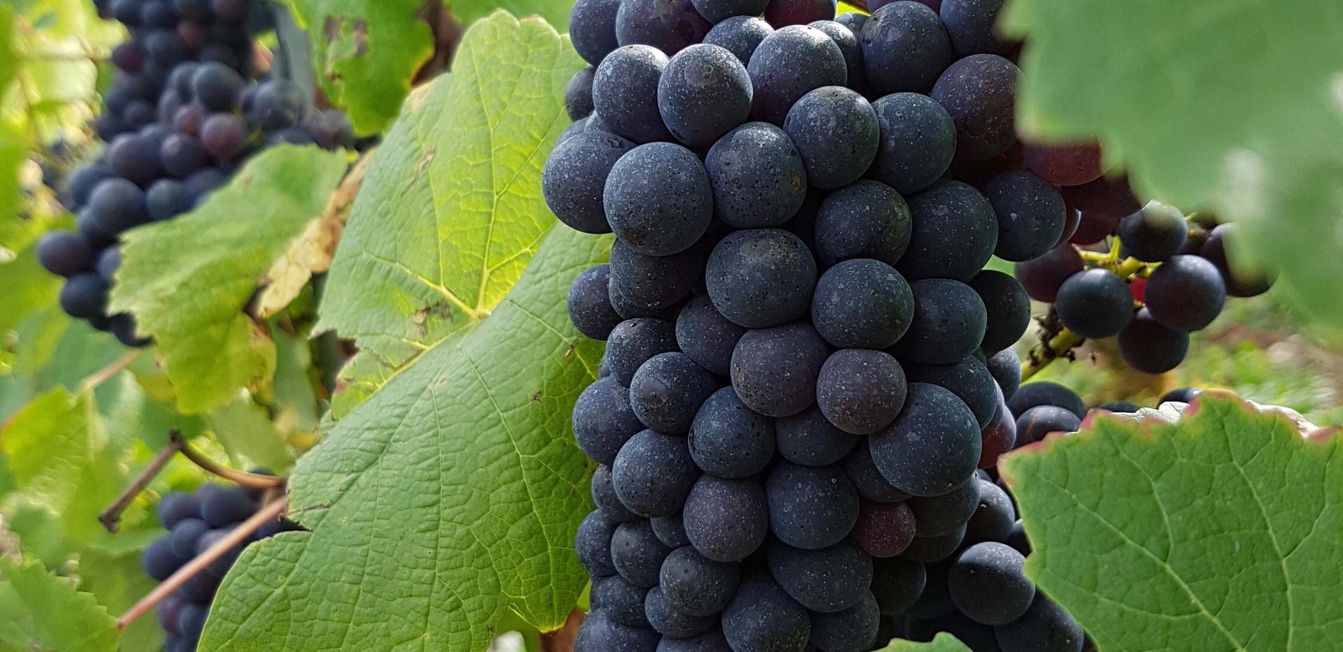 Pinot Noir Olivier Horiot En Barmont