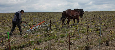 ploughing by horse Champagne Marguet, Ambonnay
