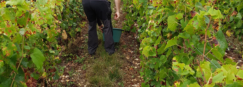 "Charles Dufour testing grapes prior to the 2016 harvest in his lieu-dit ""Le Champ du Clos"""