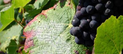 map on vine leaf