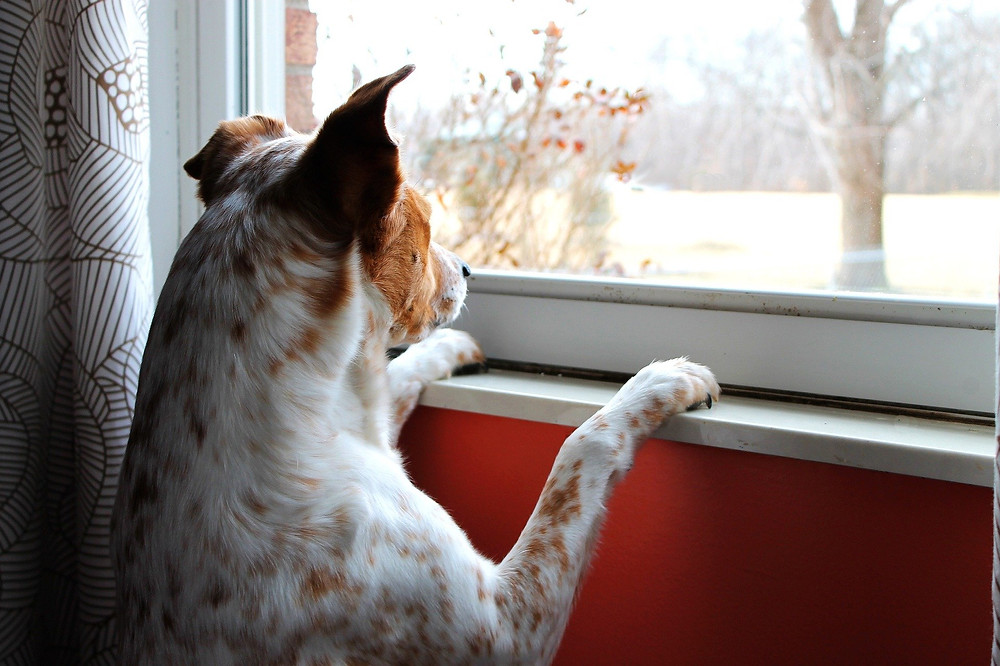 Dog looking out the window, waiting