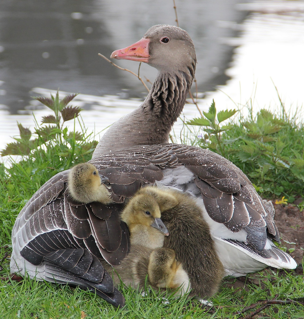 a mother goose with baby goslings under her wing