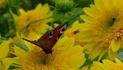 Sunflowers ***