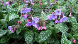 Common lungwort ***