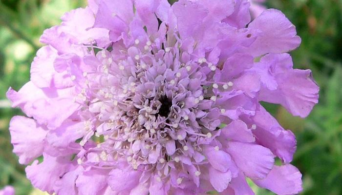 Pincushion flowers ****