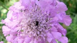 Pincushion flowers ****