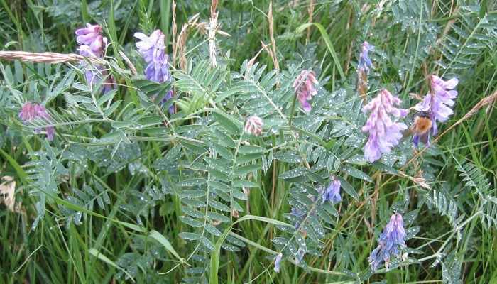 Tufted vetch ****