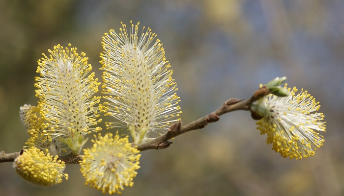 Sallow / pussy willow ****