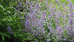 Catmint ***
