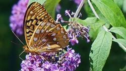 Butterfly Bush ***